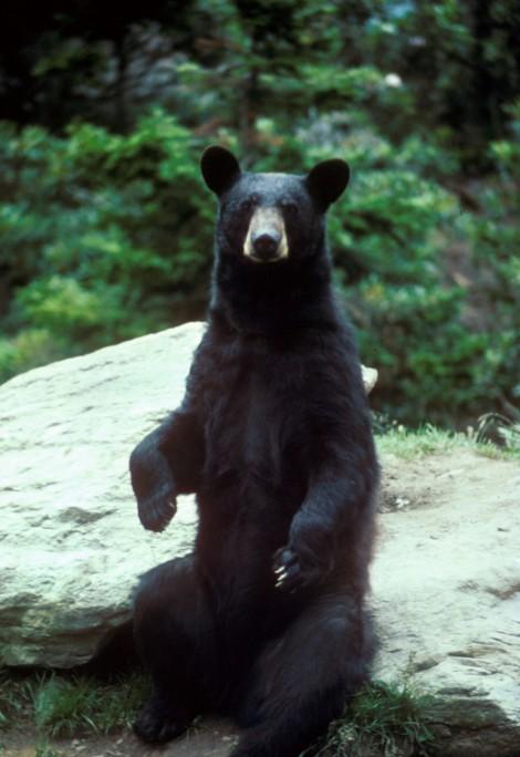Black_bear_large