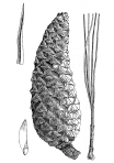 Pinus_gordoniana_illustration