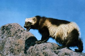 1280px-Wolverine_on_rock