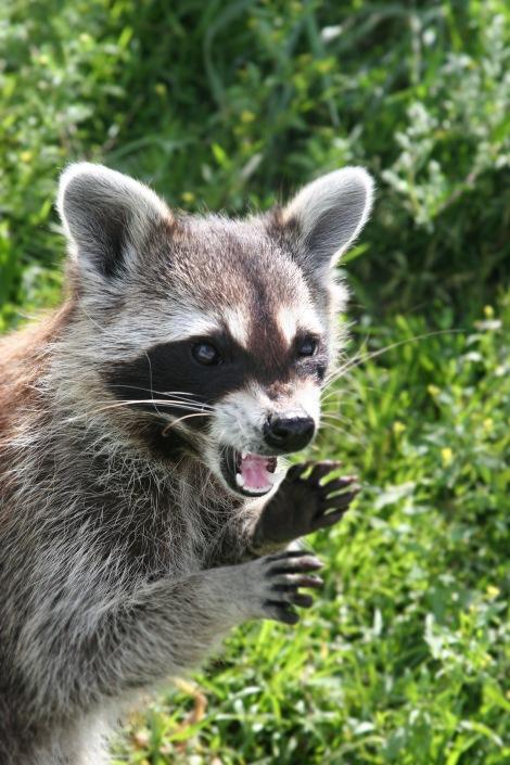 angry_raccoon