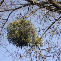 7 Fun Mistletoe Facts