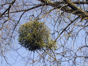 mistletoe_in_tree